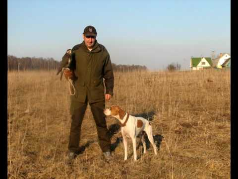 English Pointer  dog  www.kamhunting.ru