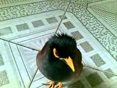 chim nói tiếng người