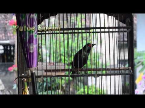 The Cucak Bird's Voice Unique