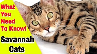 Everything You Need to Know about the Savannah Cat