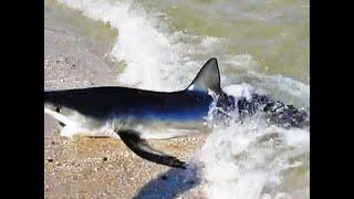 Sand Shark Rockaway Beach NY