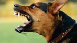 DOG SOUNDS Angry Dog Bark and Growl