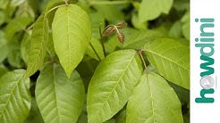 How To Treat Poison Ivy - Cures for poison ivy