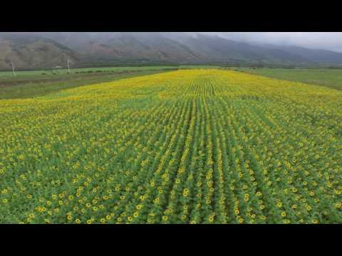 The Maui Sunflower Field