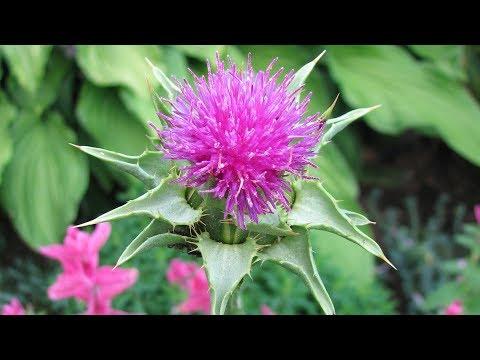 Главное растение для печени  Святой чертополох, или расторопша