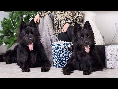 LongCoat Belgium Shapherd | Long CoatBlack Shapherd |Black Beauty