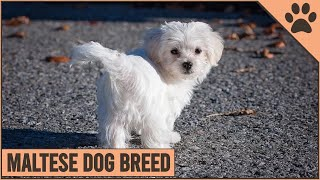 Maltese Dog Breed Information | Dog World