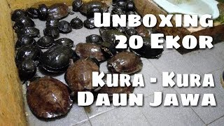 Unboxing 20 Ekor Kura - Kura Daun Jawa / Asian Leaf Turtle