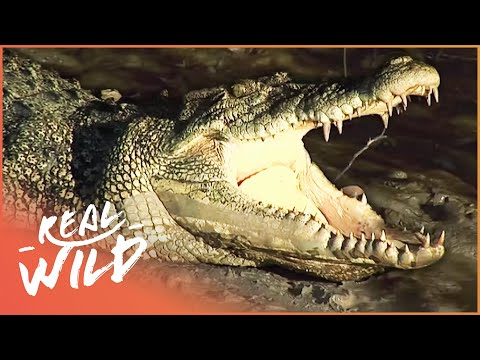 Crocodile Island [Australian Crocodile Documentary] | Wild Things