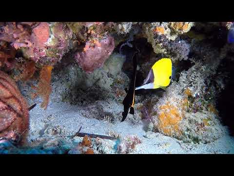 Juvenile Batfish On Wakatobi House Reef