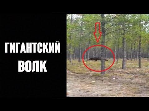 ГИГАНТСКИЙ ВОЛК напал на собаку !