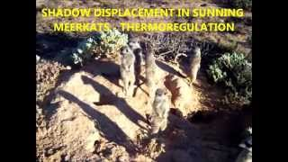 Meerkats sunning. Thermoregulation and shadow displacement