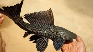 Rare River BLACK TIGER Fish prepared by My mother and Grandmother | Indian Village Food