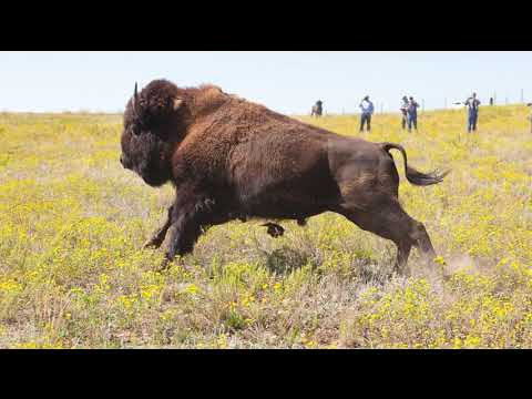 Dozens of Yellowstone bison transferred to Fort Peck Indian Reservation
