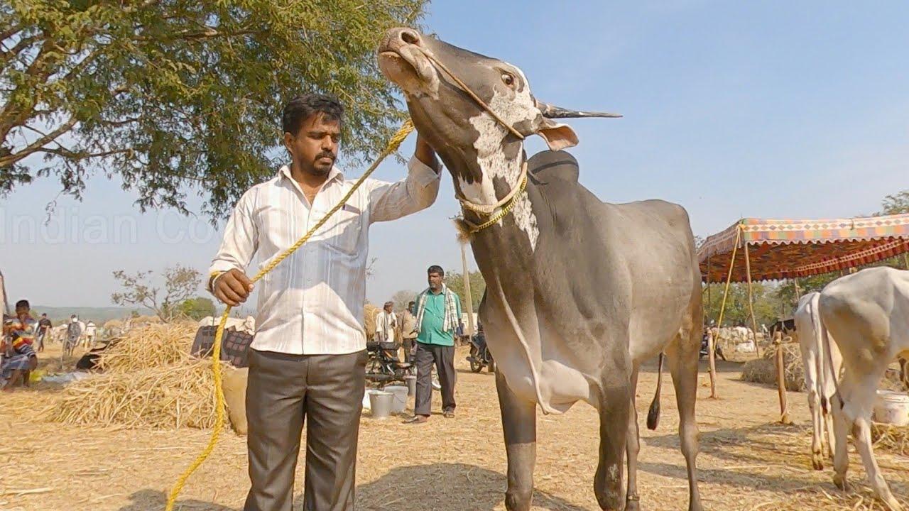 Hallikar stud bull of Puneeth Kuruballi