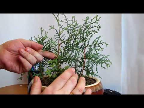 Вопрос: Как вырастить бонсай из ростка кипариса?