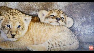 НЕЖНОЕ ВИДЕО ! Львица ЛОЛА и ее #МАРСЕЛЬВЯТА !!!