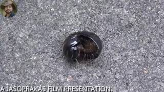 Intelligence of an insect  (Armadillidium vulgare).