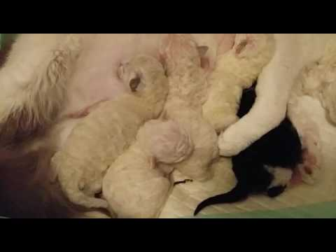 LaPerm kittens just three day's old