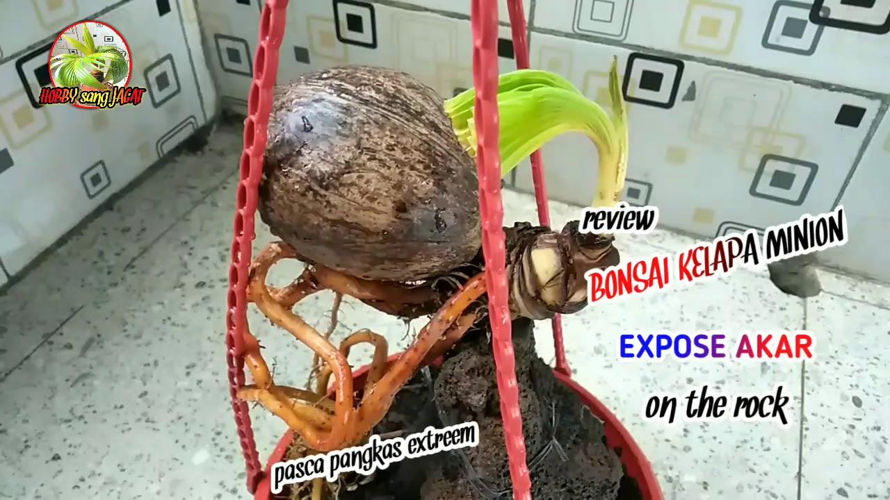 Bonsai Kelapa Minion On The Rock Expose Akar Youtube