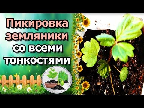 ПИКИРОВКА РАССАДЫ ЗЕМЛЯНИКИ (КЛУБНИКИ), СО ВСЕМИ ТОНКОСТЯМИ. ЗЕМЛЯНИКА ИЗ СЕМЯН. | мелкоплодная | выращивание | земляники | земляника | семенами | клубника | рассада | семян | уход | из