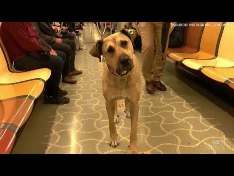 Stray dog using Istanbul public transit gains social media fame