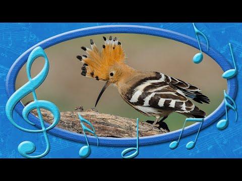 Одуд (Upupa epops). Птахи України. | 360x480