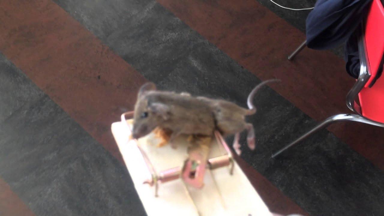 U0026quot Mouse Caught In Closet U0026quot   Snap Trap