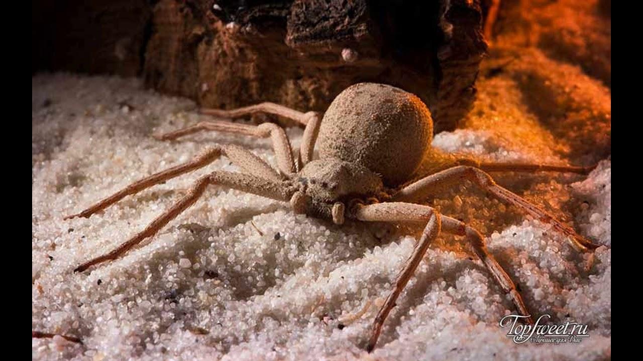 Самые ядовитые пауки - YouTube