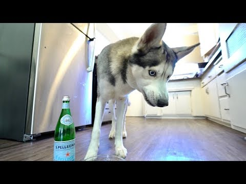 My Husky REACTS To Trying Seltzer Water..