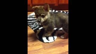 Siborgi (husky Corgi Mix) Puppy!