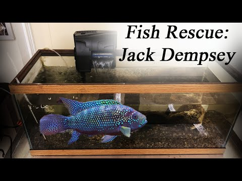 FISH RESCUE! Saving Our Jack Dempsey!