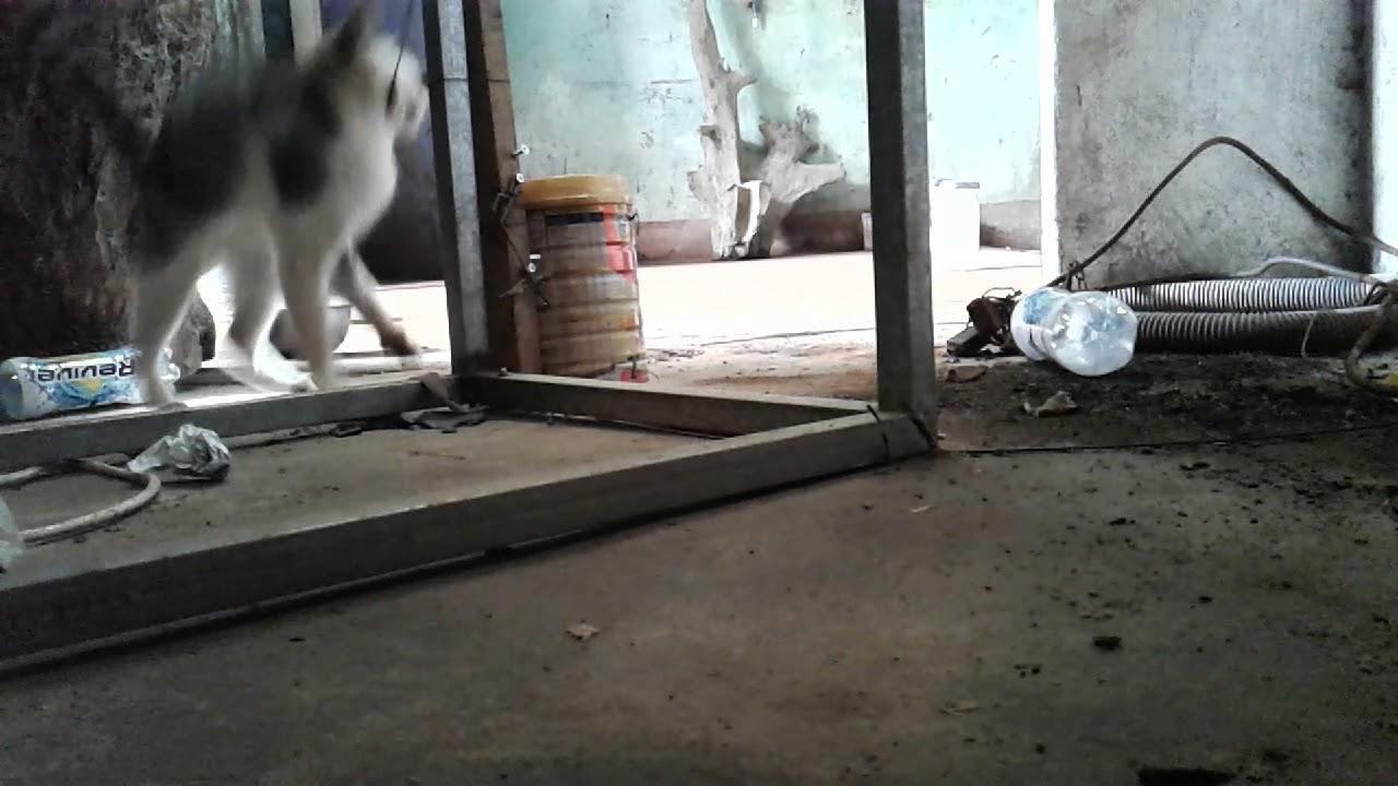Bẩy mèo hoan 1 cách đơn giãn.những con mèo phá phách.cho mày chết.