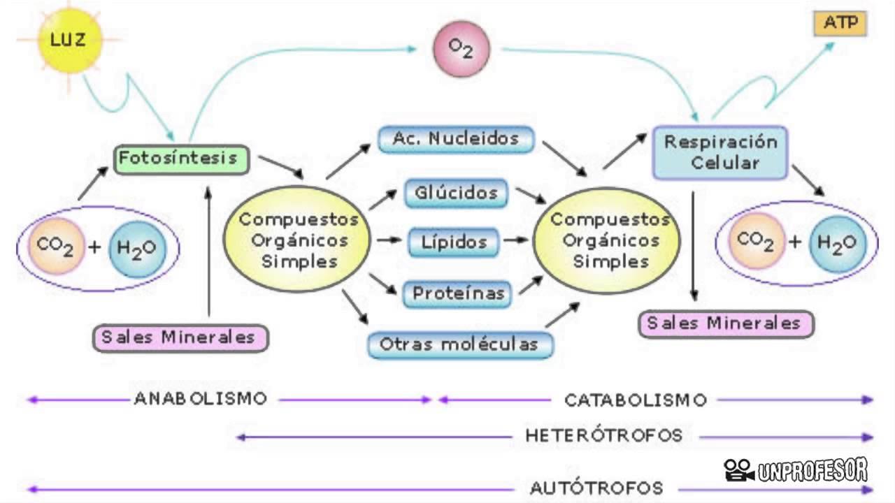Diferencia Y Relación Entre Anabolismo Y Catabolismo Youtube