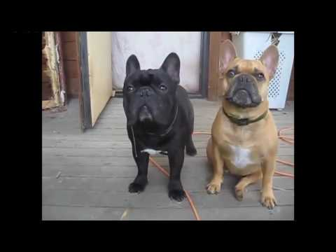 TRY NOT TO LAUGH-Funny French Bull Dog Compilation 2016