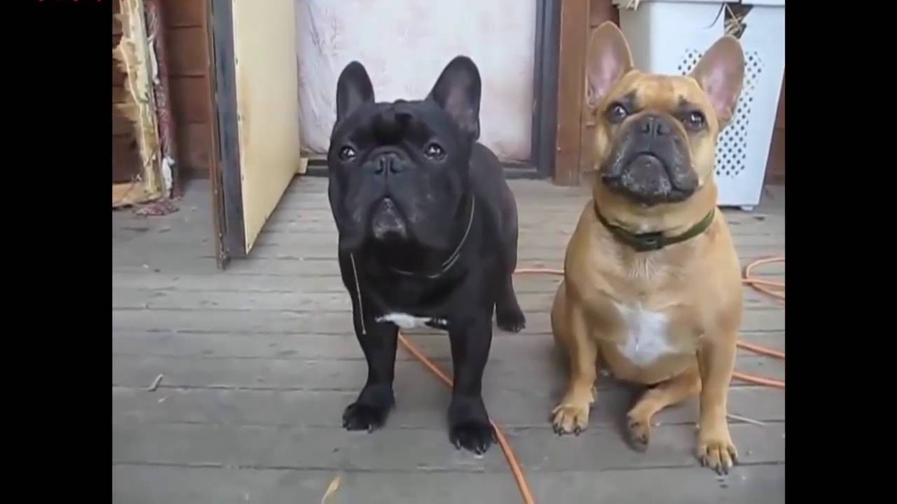 try not to laughfunny french bull dog compilation   youtube -