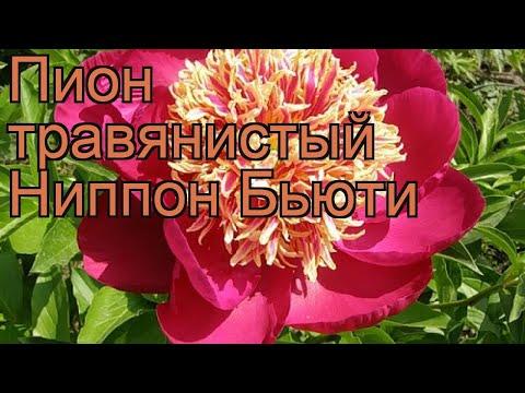Пион травянистый Ниппон Бьюти (paeonia) 🌿 Ниппон Бьюти обзор: как сажать, рассада пиона Ниппон Бьюти