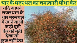 kair ka plant | ker ka ped | kair ke fayde | ker |Local fruits of Rajasthan