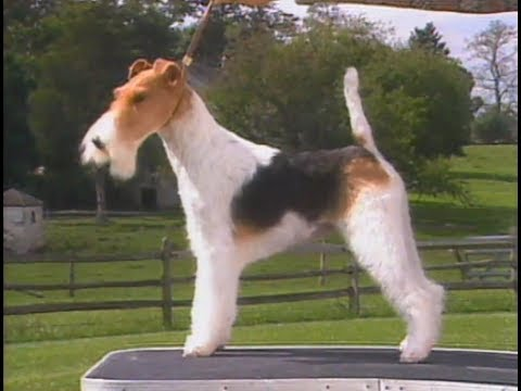 Fox Terrier Wire - AKC Dog breed series
