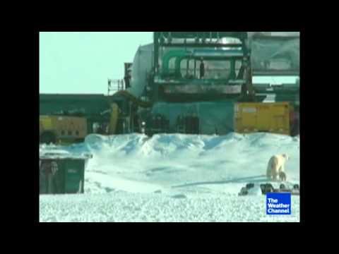 Polar bear wakes up on oil drill
