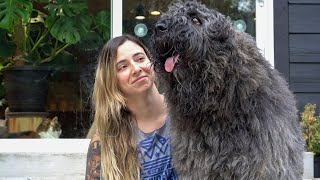 Grooming a Bouvier des Flandres  Werebear style