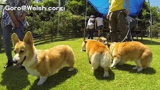 Summer Licks Gopro(camera). / カメラをなめるコーギー 20140518_4 Goro@welsh Corgi スローモーション Slow Motion