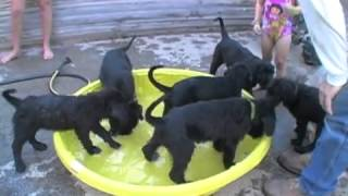 Natural Giant Schnauzer Puppies - Water World