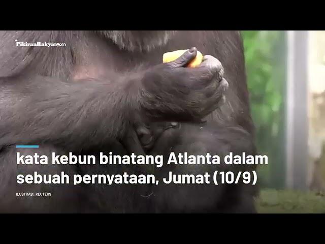 Kawanan Gorila di AS Positif Covid 19, Pihak Kebun Binatang Bergegas Vaksinasi dengan Vaksin Khusus