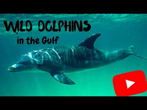 Wild Dolphins on the Gulf of Mexico - Talking to Wild Dolphins