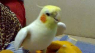 超愛唱歌的玄鳳鸚鵡~小葵