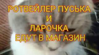 РОТВЕЙЛЕР ПУСЬКА СОБИРАЕТСЯ В МАГАЗИН.воспитание и дрессировка собак