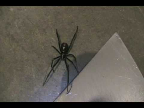 Black Widow Spider In Our Garage In Kelowna Bc Youtube