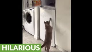 Cat knows exactly where to find the human food