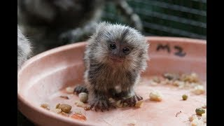 Cute Monkeys Part #45 - Free and happy time with Funny Baby Pygmy Marmoset (Finger Monkey) 2018